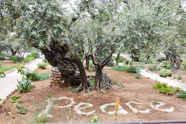 mega-olivo